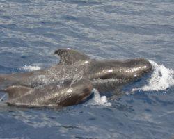 Royal Delfin in Tenerife